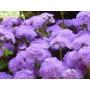 450 Sementes Da Flor Agerato Mexicano Azul #xrau