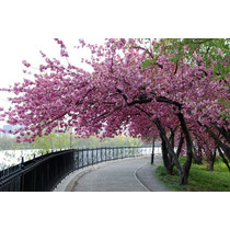 Cherry Tree Cerejeira Sakura Bonsai Sementes Flor