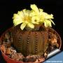 Sementes Cactos Frailea Castanea Cactus Flor Mudas Cacto