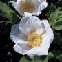 Sementes Rosas Raras Rugosa Var Alba Flor Branca P/ Mudas