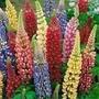 Sementes Da Flor Lupinus Russel Sortido+frete Gratis #oxfd