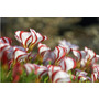 40 Sementes Planta Oxalis Versicolor Trevo Bastão