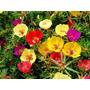 1100 Sementes De Flor Onze Horas #produtonovo