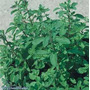5 Sementes Da Planta Manjerona, Usada Como Tempero.
