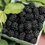 Amora Gigante Blackberry Triple Crown Sementes Para Mudas