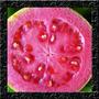 Goiaba Vermelha Graúda Sementes Frutas Para Mudas E Bonsai
