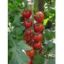 Sementes De Tomate Cereja Carolina+frete Gratis