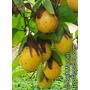 5 Sementes Do Maracujá Doce Silvestre - Passiflora Nitida