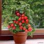 Semente De Tomate Bonsai 15 Pcs Multicoloridos+ Frete Grátis