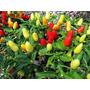Sementes Pimenta Picante P/ Vaso Salada Horta Organica Pomar