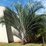 2 Mudas Grandes De Palmeira Triangular - Arvore Exótica