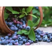 Blueberry Lowbush Mirtilo Anão 30 Sementes Para Vaso Jardim
