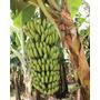 Super Banana Nanicão + D´água + Prata 3 Rizomas Muda Semente