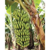 Banana Nanicão Com 2 Rizomas Mudas (nanica Gigante)