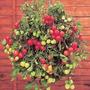 Sementes Tomate Cereja Samambaia Red P/ Vaso Frete Gratis