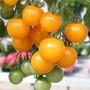 1000 Sementes De Tomate Cereja Amarelo #s922