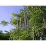 Moringa Oleifera Sementes
