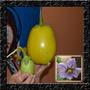Jiló Gigante Sementes Hortaliças Para Mudas