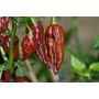 10 Sementes De Pimenta Bhut Jolokia + Frete R$5,00