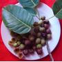 Ficus Luschnathiana Figo Fruta Bonsai 100 Sementes Pra Mudas