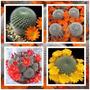 Rebutia Mix Sementes Sortidas P/ Mudas Cactos Cactus Flor