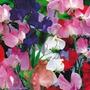 12 Sementes Da Flor Ervilha De Cheiro Frete Grátis #1goz