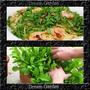 Rucula Cultivada Sementes Baby Leaf Hortaliças Ervas