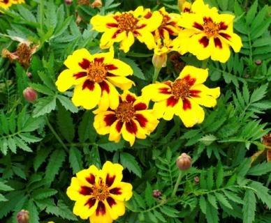 Marietta Marigold - Tagetes - Flor- Sementes Para Mudas