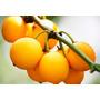 Muda De Fruta Bacupari Garcinia Macrophylla 70cm