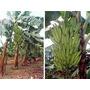 Mudas De Banana: Terra, Prata, Roxa, Etc.