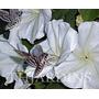 Sementes De Ipomoea Alba Dama Da Noite- Bulbo Muda Bonsai