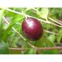 Muda Da Fruta Ameixa Da Mata, Linda Floração, Rara, Saborosa
