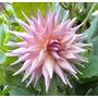 Bulbos De Dálias Cactus Rosa Bebe Dahlia Gigante