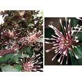 Cotonete-árvore (clerodendrum Quadrangular) Apenas R$ 24,80