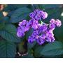 Sementes Raras Heliotrope Mudas Perfumadas Jardim Plantas