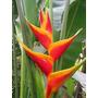 Heliconia Jacquini - Muda - Flores Tropicais