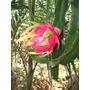 Kit 07 Mudas De Pitaya Fruta Exótica Produz Em 1 Ano