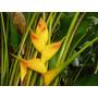 Heliconia Quito Gold - Muda - Flores Tropicais