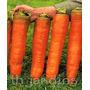 Sementes De Cenoura Heirloom Gigante - Autumn King - Bulbos