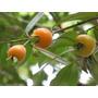 Muda Grande, Fruta Rara E Saborosa, Pitomba Da Baia, Curuiri