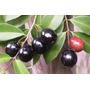 Cereja De Joinville - Eugenia Candolleana Frutifera Nativa