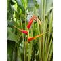 Heliconia Tagami - Muda - Flores Tropicais
