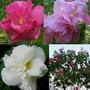 Mudas De Rosa Louca Hibiscus Mutabilis Rosa Paulista