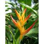 Heliconia Fire Opal - Muda - Flores Tropicais