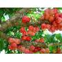 Jambo Roxo-deliciosa Fruta Tropical E Paisagismo R$ 24,80