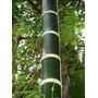 Bambu Guadua (guadua Angustifolia)30 Sementes