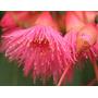 Sementes De Eucalipto Sideroxylon, Floração Rosa Plantas