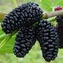 Muda De Amora Gigante Amora Gigante Produzindo Frutiferas