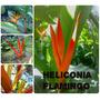Heliconia Flamingo - Flores Tropicais