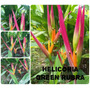 Heliconia Psittacorum Green Rubra - Flores Tropicais